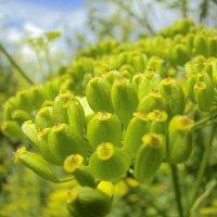 солнечные семена :: Эльвира Багина