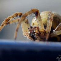паук :: lev