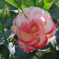В моём саду. :: Маргарита ( Марта ) Дрожжина