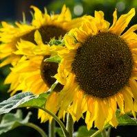 Солнечные цветы :: Ира Надеева