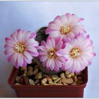 Ангельское цветение. :: Валерия Комова