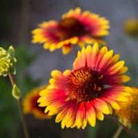 Цветочное настроение - Гайллардия. :: Анатолий Сидоренков