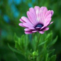 лиловая хризантема :: Na2a6a N