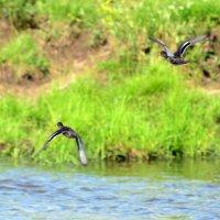две диких утки :: виктор Иоакиманский