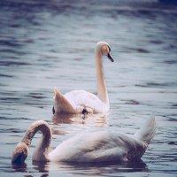 лебеди :: Андрей Пашков