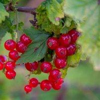 Ягода красная - ягода вкусная! :: Инта