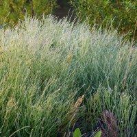 Поседели травы от росы :: Наталья Пендюк Пендюк