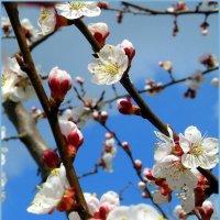 Зацветут абрикосы  весною и польется тогда аромат! :: Валентина ツ ღ✿ღ