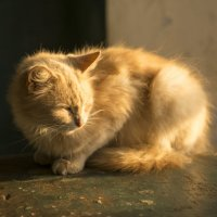 Знакомый кот. :: Сергей Ситников