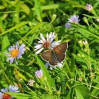 бабочка :: Людмила Чикурова