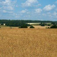 Пшеничное поле :: Андрей Зайцев