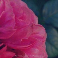 Роза :: Екатерина Перфильева