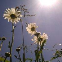 Ромашки под солнцем :: Ирина Сафонова