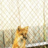 Лисица за двойным забором :: Наталья Золотых-Сибирская