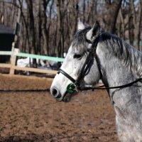 Портрет лошади 2 :: leoligra