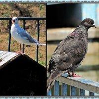 чайка и голубь, они, если честно, не пара... :: Александр Корчемный