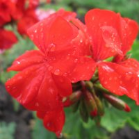 Герань в каплях дождя... :: Тамара (st.tamara)