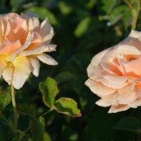 Цветы в нашем саду (этюд 4) :: Константин Жирнов