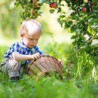 корзина с яблоками :: Сильвия Михеева