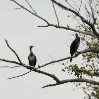 Редкая южная птица в гостях на зауральских болотах :: Борис Бусыгин