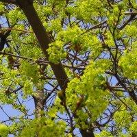 Вот листья новые растут из липких клейких почек. :: Валентина ツ ღ✿ღ