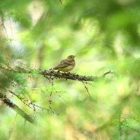 конек лесной :: евгений Смоленцев