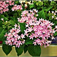 Розовые звёздочки. :: Валерия Комова