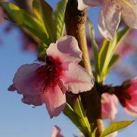 Цветы персика. :: Светлана marokkanka