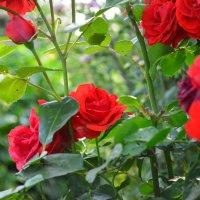 розы :: Ольга Аникиева