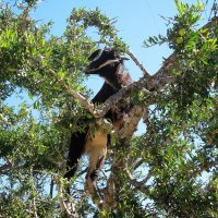 Коза на арганном дереве :: Марина Бушуева