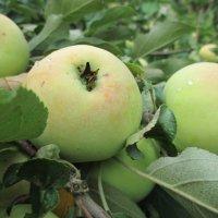 Яблоки в саду. :: Сергей Кирилловский