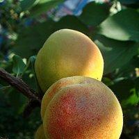 Подрумянились абрикосовые бока... :: Нина Корешкова
