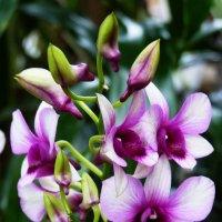 В  дивном  парке  цветут  орхидеи.... :: Galina Leskova