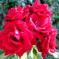 Фантазия из роз... :: Тамара (st.tamara)