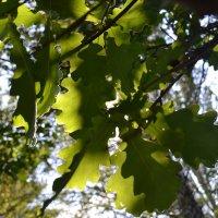 Дубовые листочки :: Ingrid Viktorsdotten