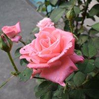 Роза :: LionLeo66 Шпак ОВ