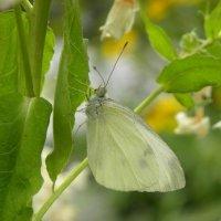 Бабочка :: Анюта Румянцева