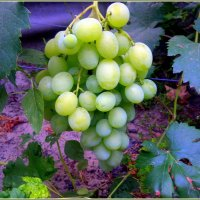 Ой, здесь бусинки растут- виноградный изумруд. :: Валентина ツ ღ✿ღ