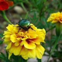 Жук,спящий на цветке :: Владимир Гилясев
