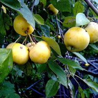 Яблочный сезон :: Любовь Чунарёва