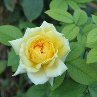 Желтая красавица :: Наталия Иванова