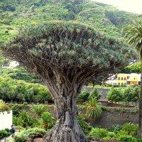 Драконовое дерево :: Сергей Карачин