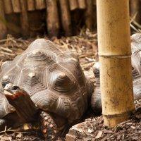 Черепаха! :: Asinka Photography