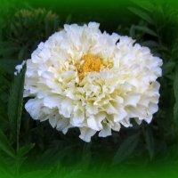 Белый шафран. :: Мила Бовкун