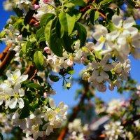 цветущая яблоня :: Ольга Демченко