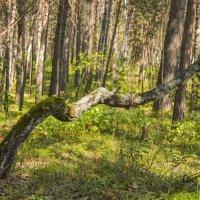 Зигзаги лесной жизни :: юрий Амосов