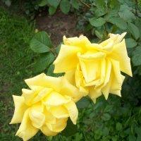Чайные розы. :: Виктор Елисеев