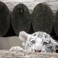 Белый Львенок. :: Анна