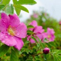 Шиповник цветет. :: Дмитрий Каблов