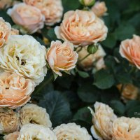 Нежность розы :: Tanya Ash